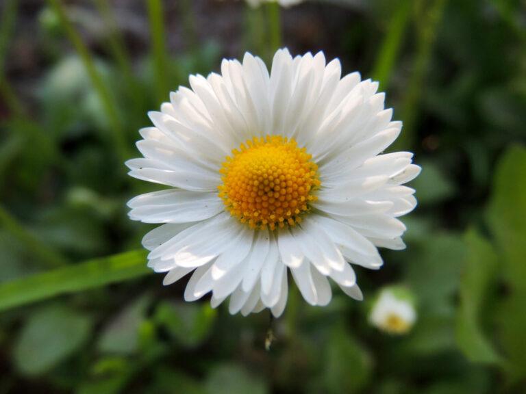 One,White,Daisy